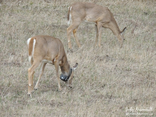 deer-riding-mountain