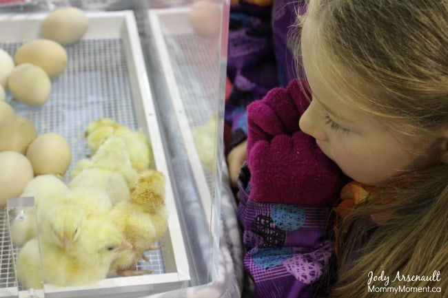 watching-chick-hatch